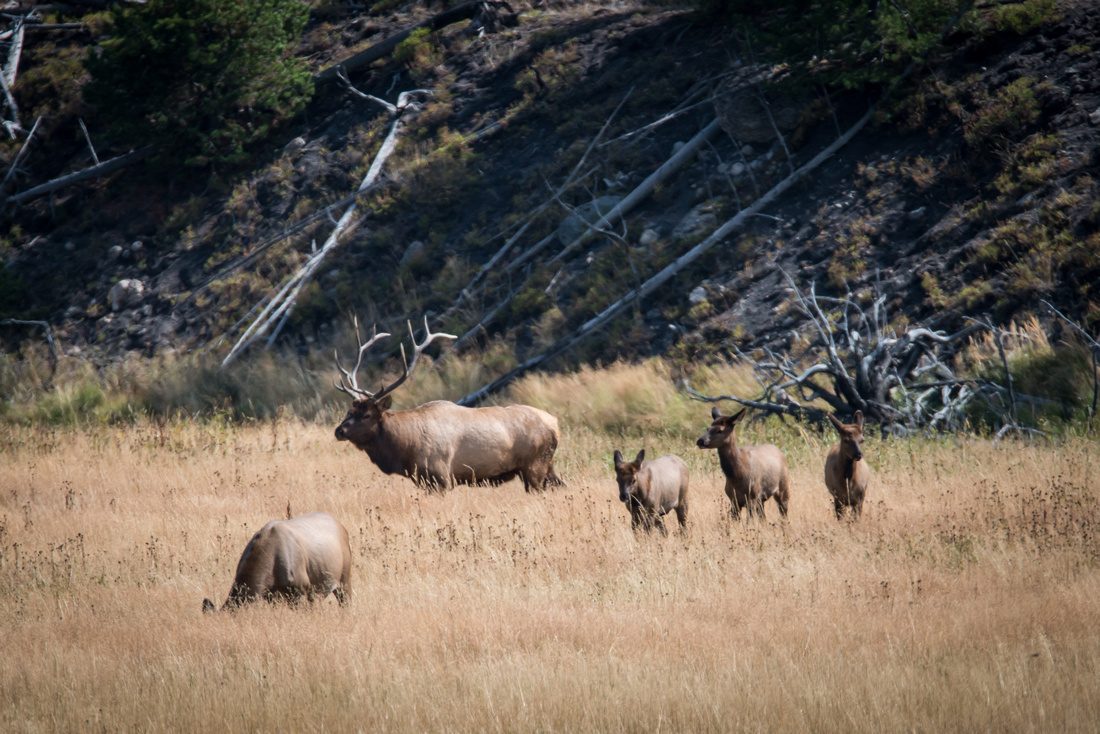 Bull Elk, Cow And Yearlings, Yellowstone