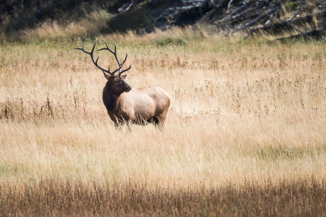 Bull Elk In An Autumn Field, Yellowstone