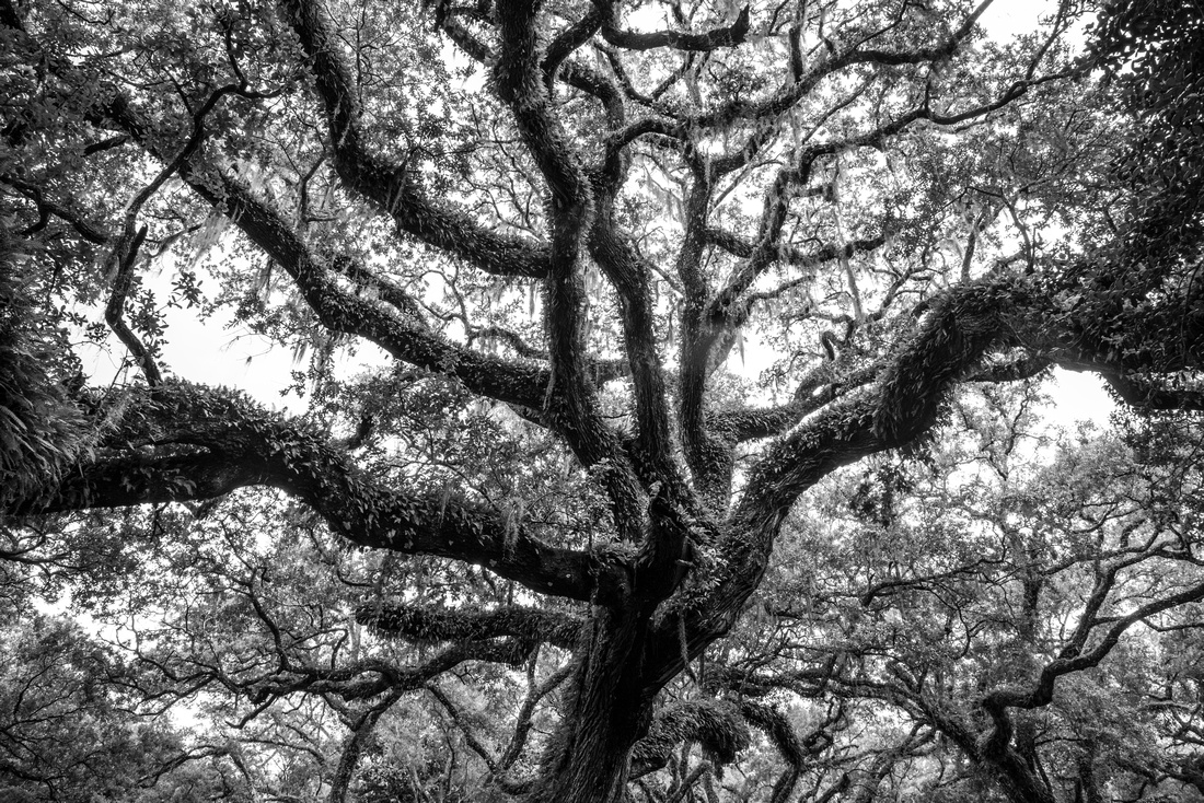 A high contrast black & white photo of a live oak tree covered with resurrection fern and Spanish moss in Florida, USA