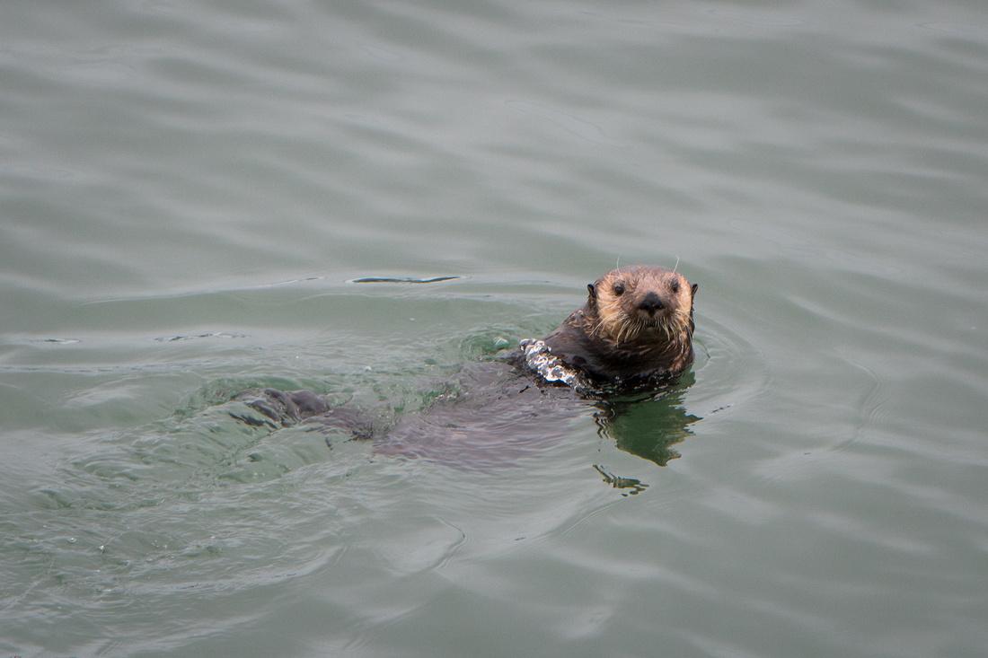 A Sea Otter Likes Posing