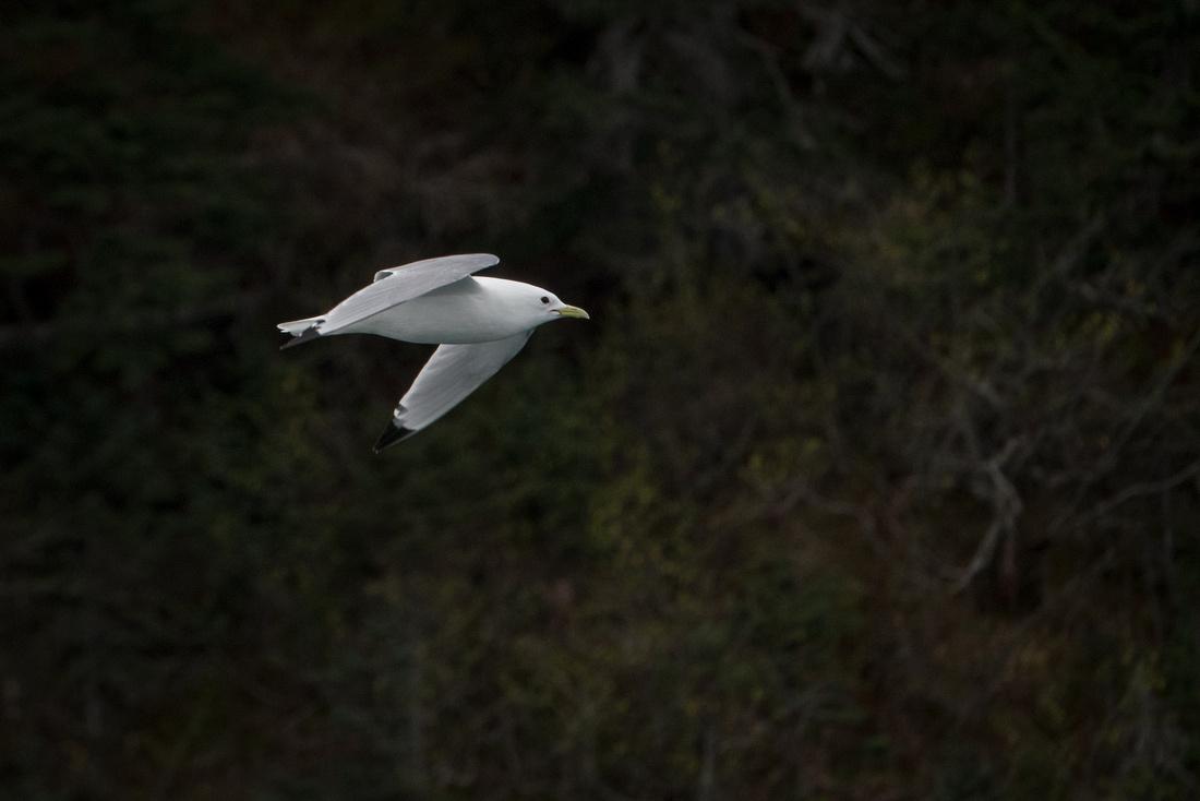 Black Legged Kittiwake In Flight