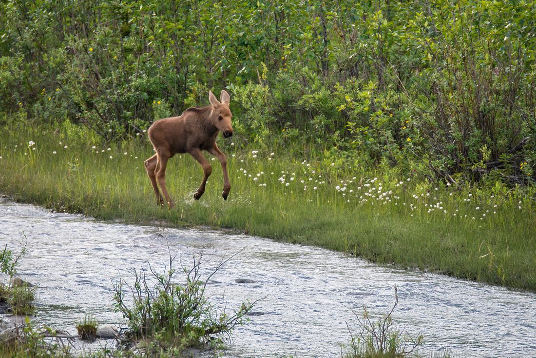 A moose calf jumping and splashing along Riley Creek In Denali National Park, Alaska, USA