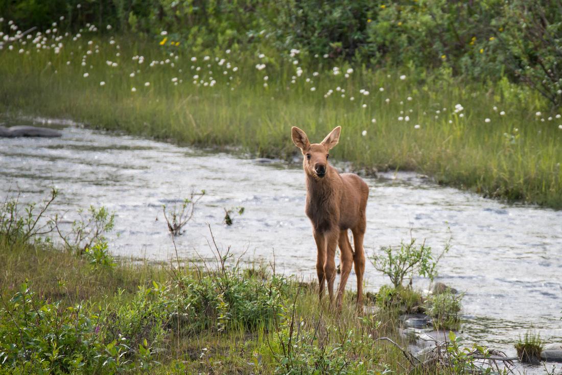 A moose calf strikes a beautiful pose along Riley Creek, Denali National Park, Alaska, USA