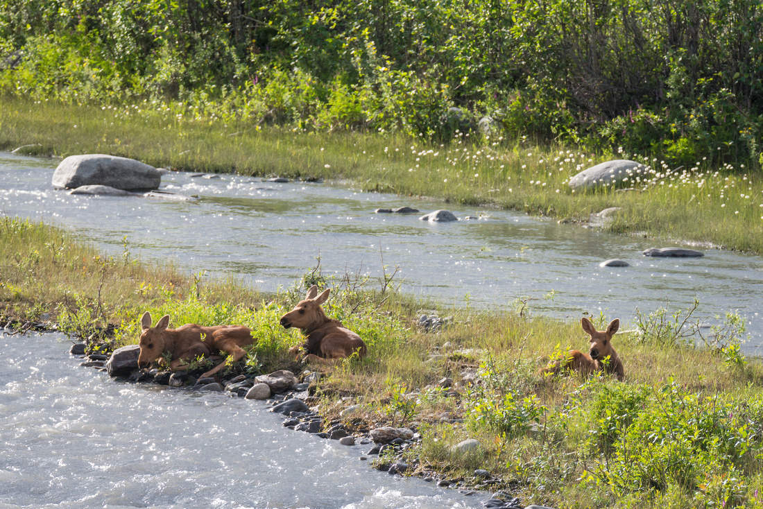 Three moose calves lying on a patch of ground in the middle of Riley Creek, Denali National Park, Alaska, USA