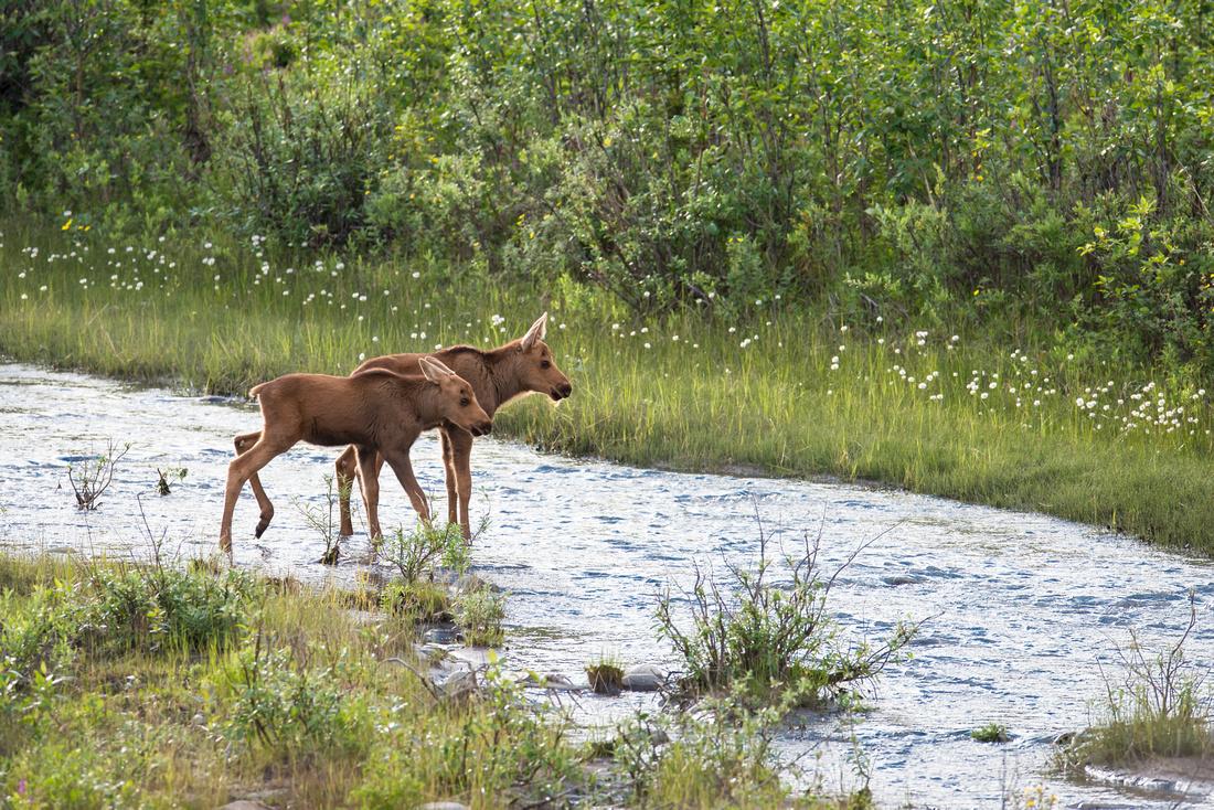 Two moose calves crossing Riley Creek, Denali National Park, Alaska., USA