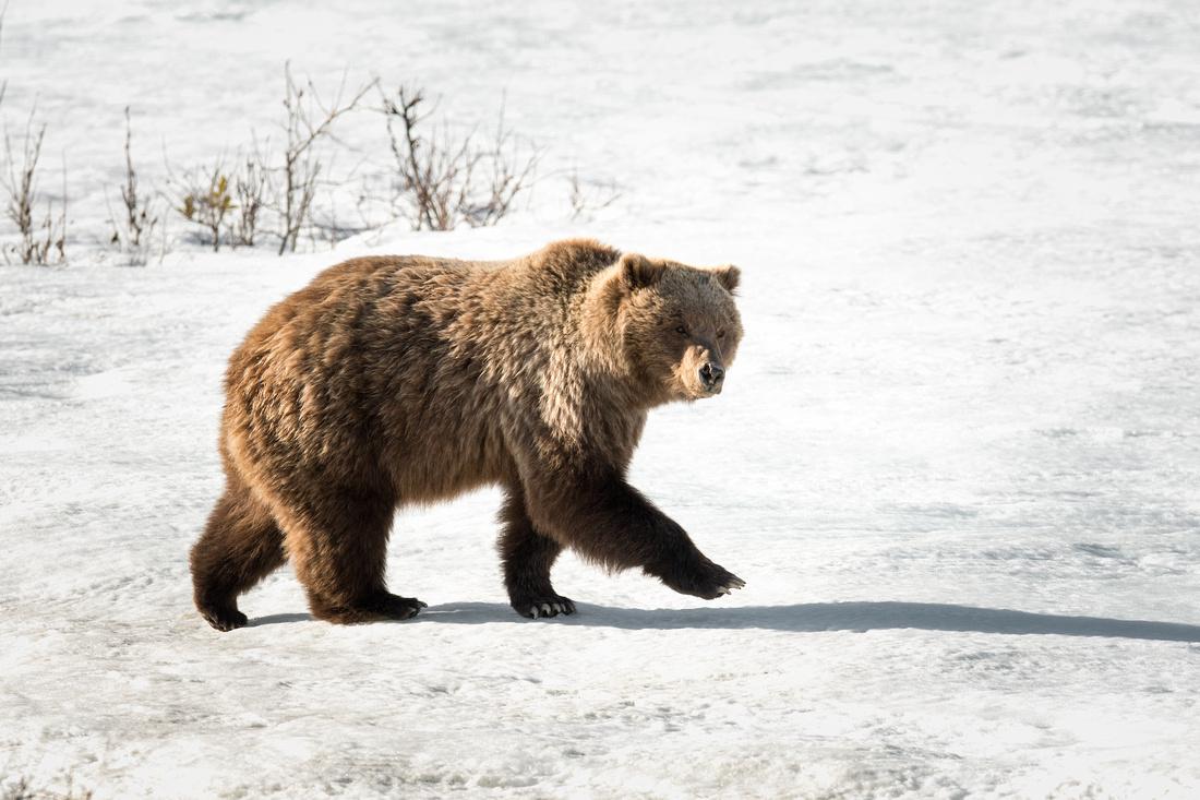 A grizzly bear walks on a snow patch in Denali National Park, Alaska copy