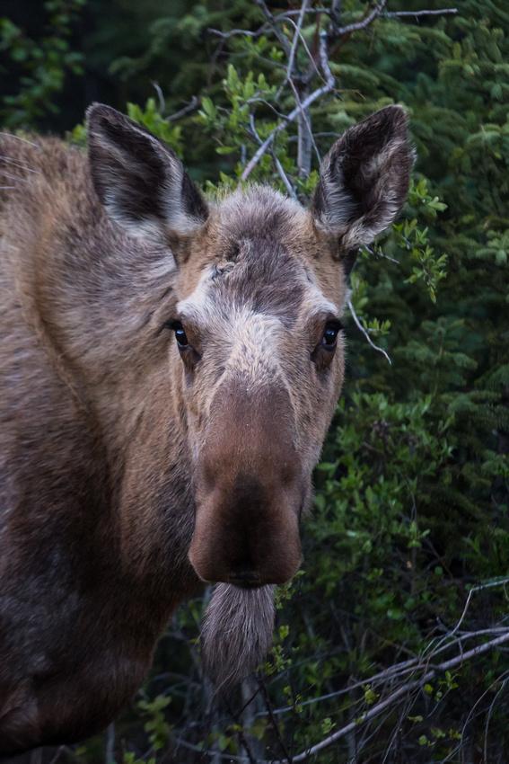 A moose poses for a portrait in Denali National Park, Alaska, USA