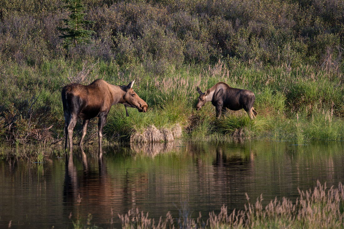 A mother moose and yearling eat and drink at a watering hole in Denali National Park, Alaska copy
