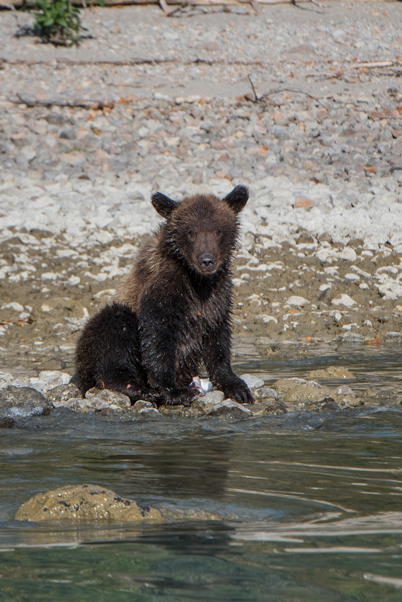 A brown bear cub along the shore of Crescent Lake getting himself messy with salmon in Lake Clark Natl Park, Alaska, USA
