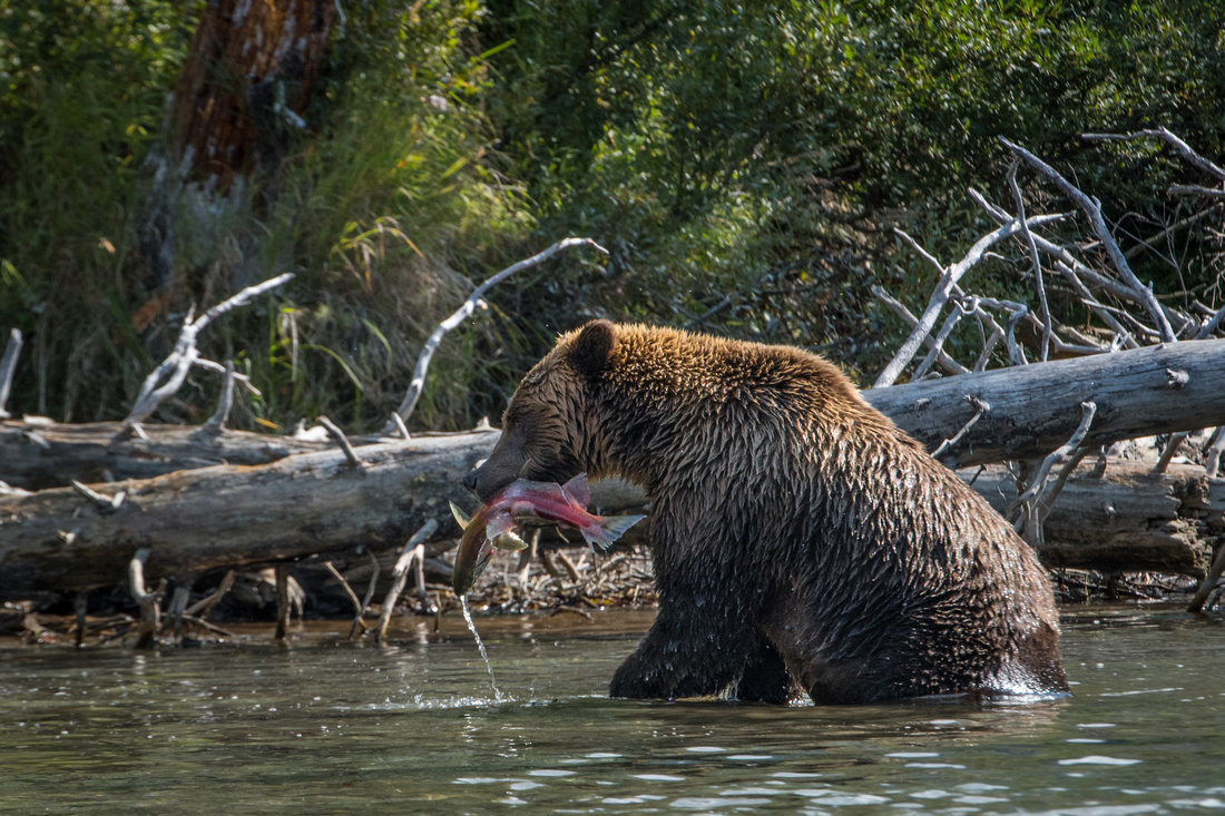 A brown bear with a salmon in his mouth on Crescent Lake in Lake Clark NP, Alaska, USA