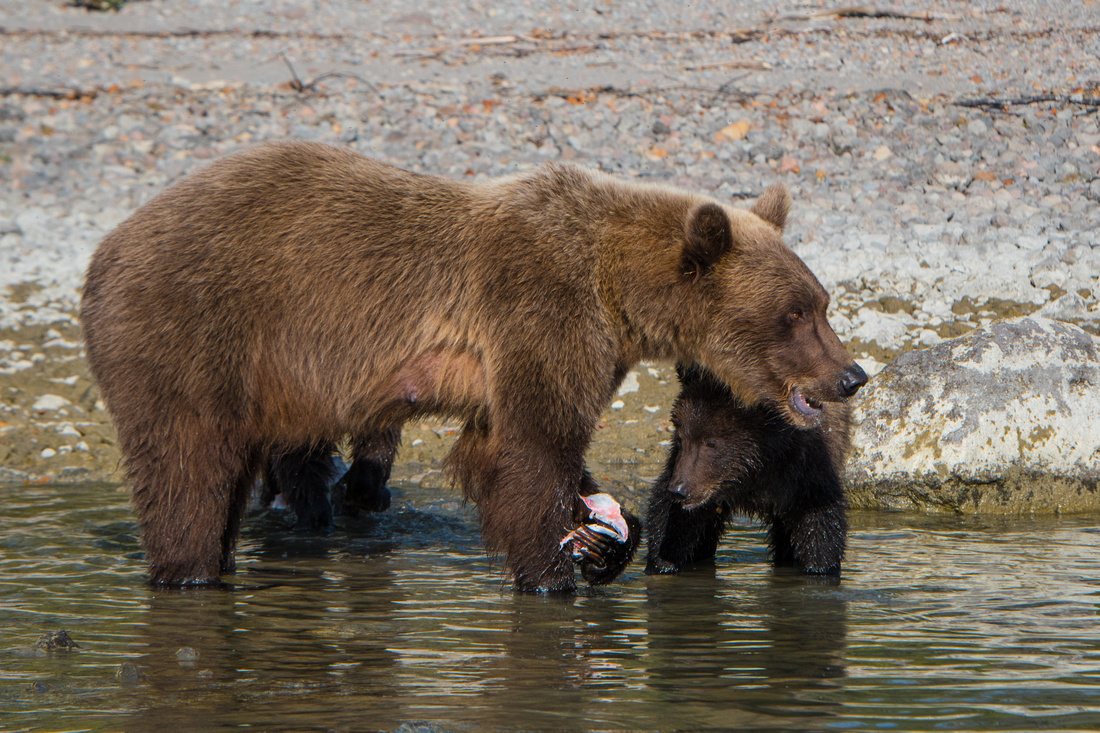A mother brown bear feds her cub a piece of salmon on Crescent Lake in Lake Clark NP, Alaska, USA