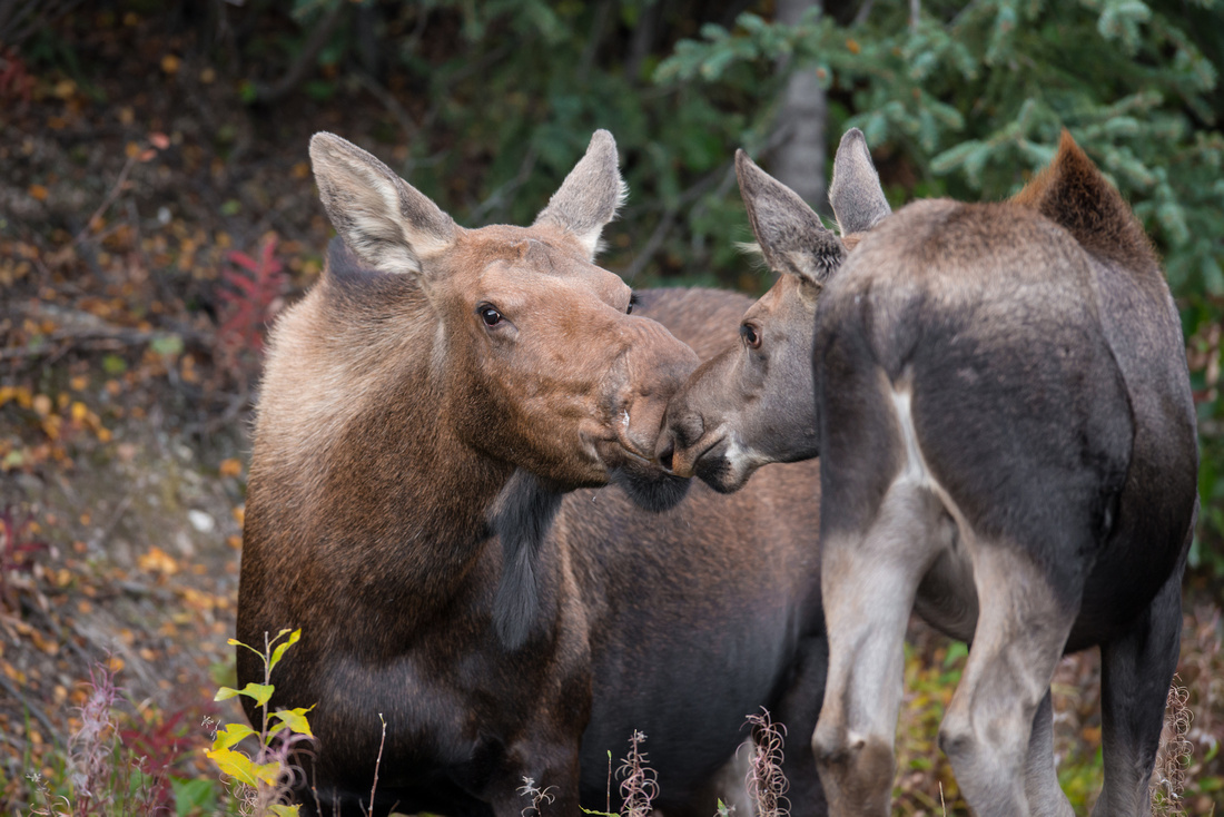 A cow moose and its yearling exchange a loving kiss in Denali National Park, Alaska, USA