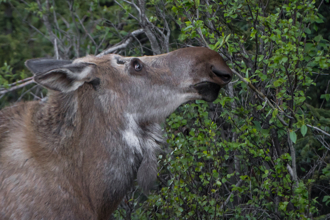 Close up profile of a cow moose eating leaves from a tree in a rugged spring coat, Denali National Park, Alaska, USA