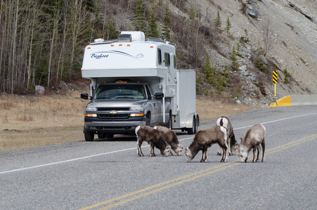Stone Sheep eating salt off the road on the Alaskan Highway in British Columbia, Canada