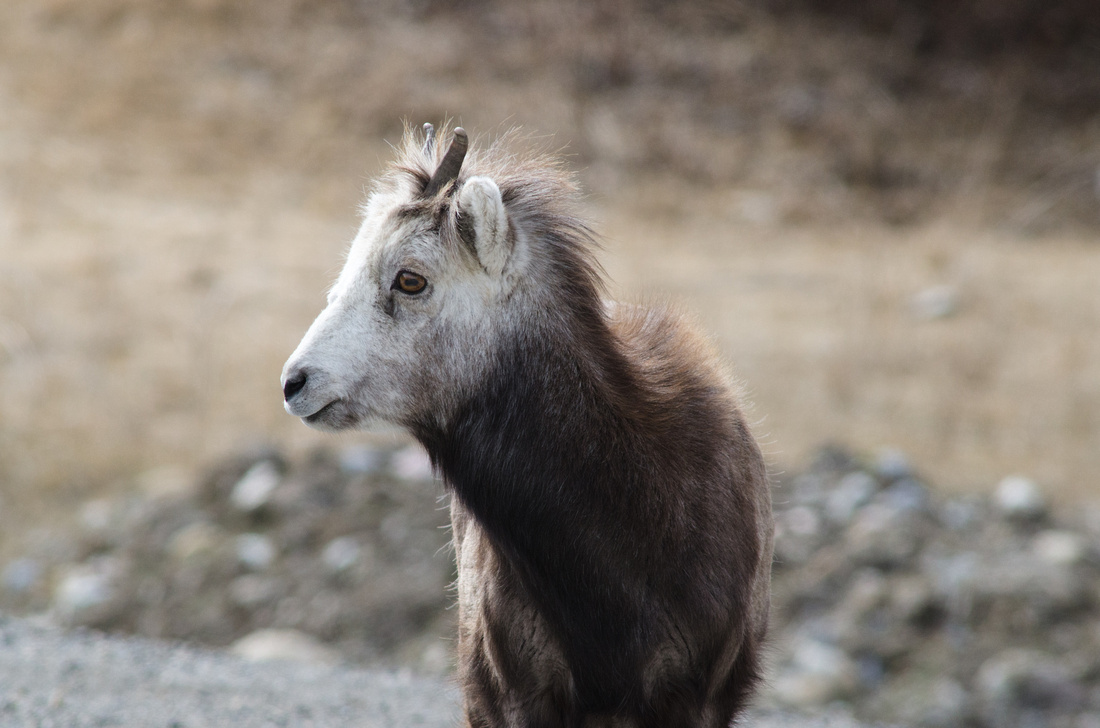 A young stone sheep along the side of the Alaskan Highway in northern British Columbia, Canada