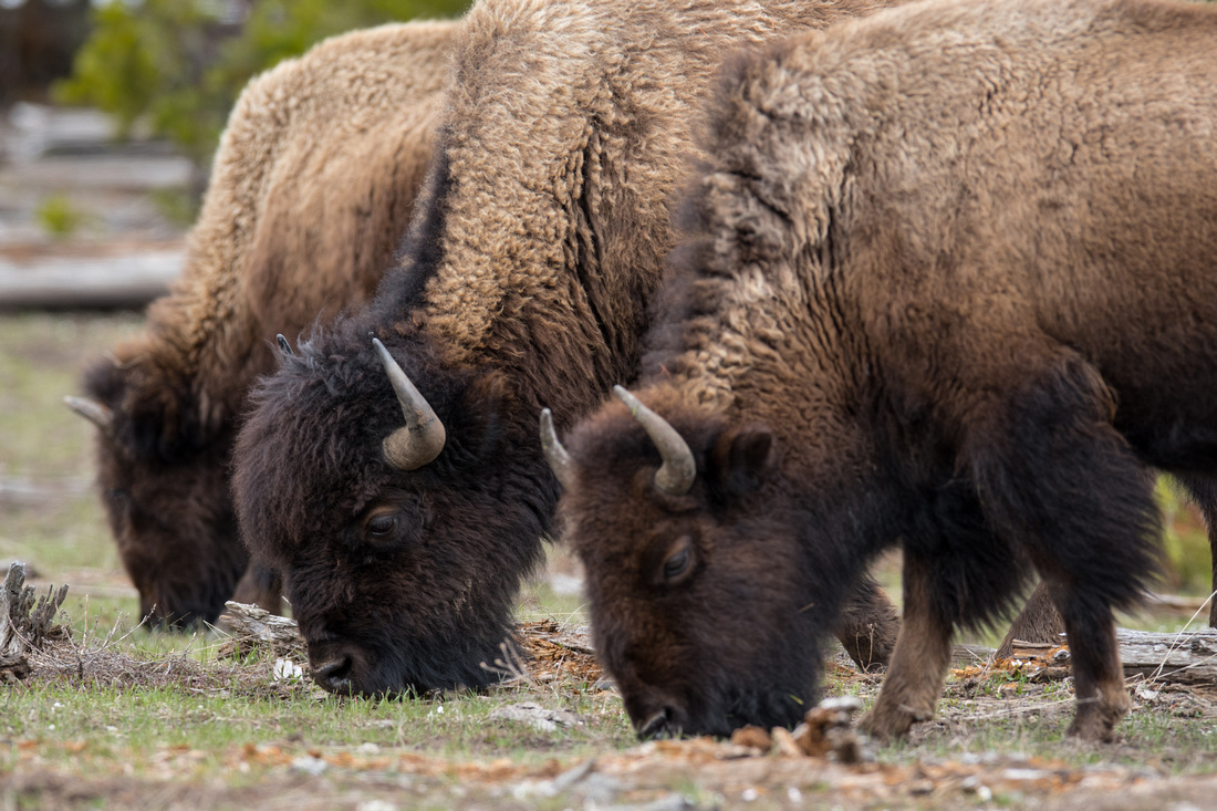 Three bison profiles in a row grazing in Yellowstone National Park, Wyoming, USA