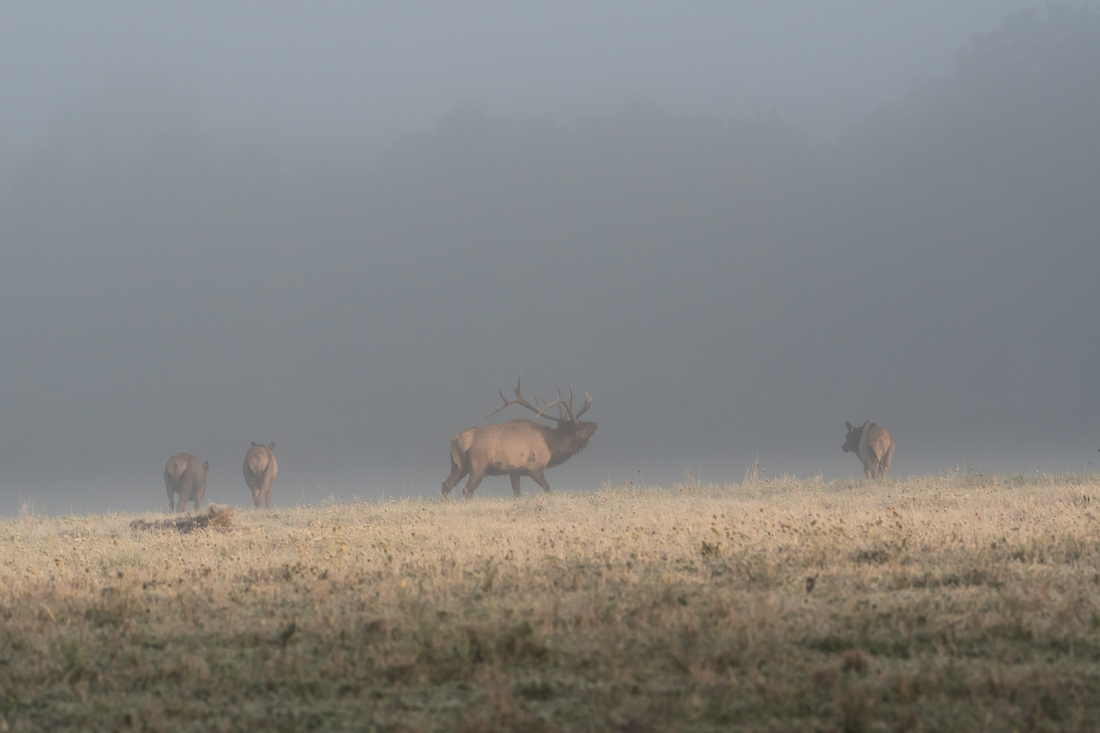 A bull elk bugles as he herds his cows back into the woods on a foggy morning during the elk rut in Benzette, PA, USA