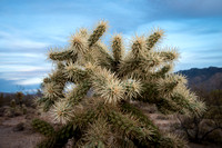 Teddy Bear Cholla Catus1, close up, Saquaro Ntl Park, AZ