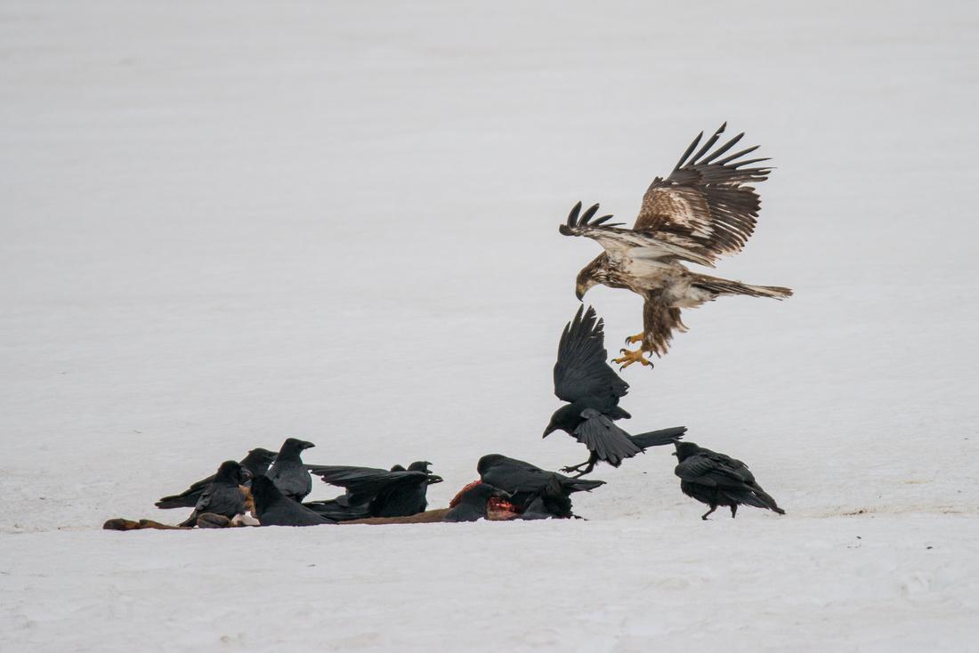 Juvenile Bald Eagle Moving In