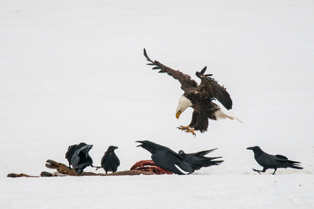 "The Raven Cries ""Here Comes An Eagle"""