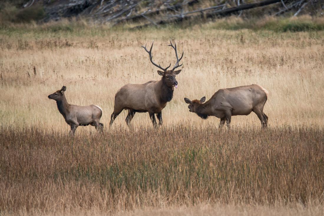 Elk Rut #1, Yellowstone