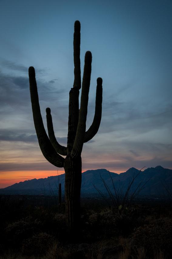 Saguaro Cactus At Sunset 1
