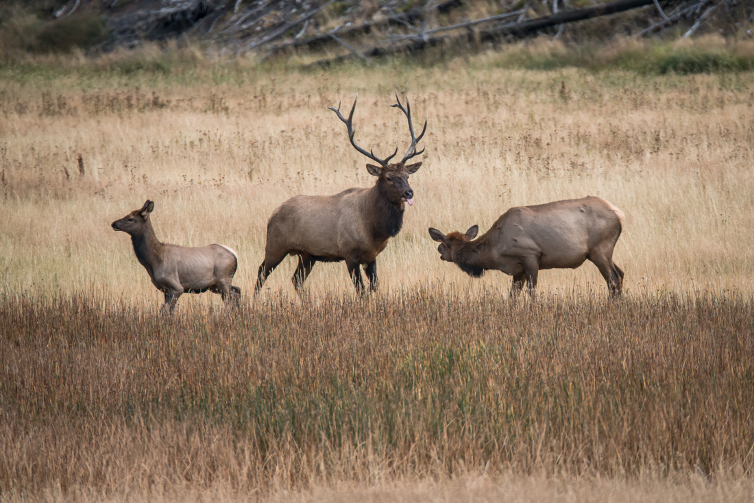 Elk Rut #1, Yellowstone